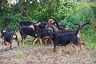 Yorkshire Farmers Bloodhounds - Hound Exercise - 11OCT2015
